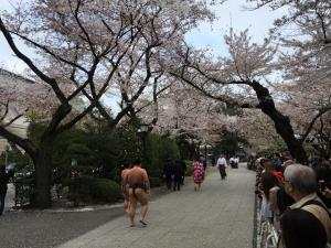 Professional sumo wrestlers walking amongst the cheery blossoms during the spring tournament at Yasukuni Shrine.