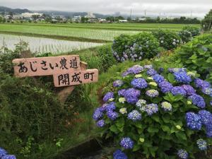 Hydrangeas and rice fields
