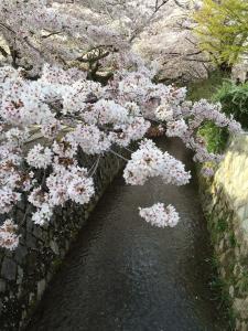 Sakura in full bloom over the canal.