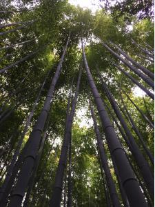 Looking upward in a bamboo forest in Kyoto